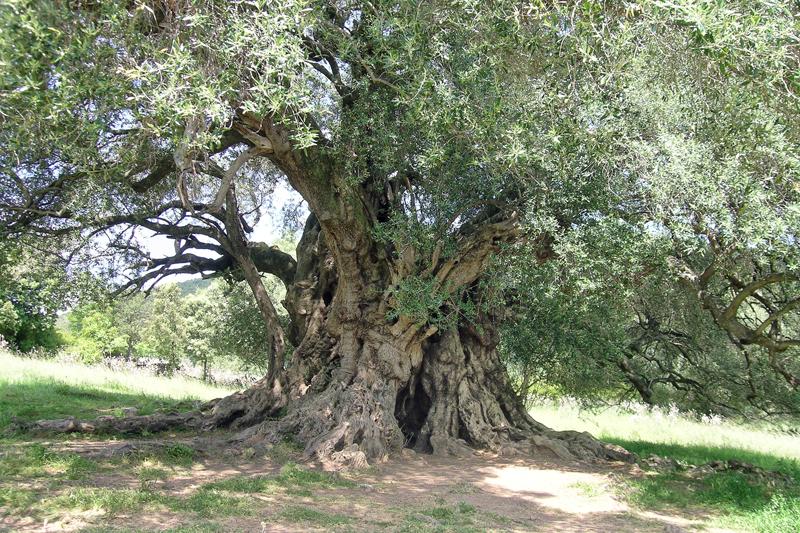 Luras, (Gallura). L'albero più antico d'Italia.